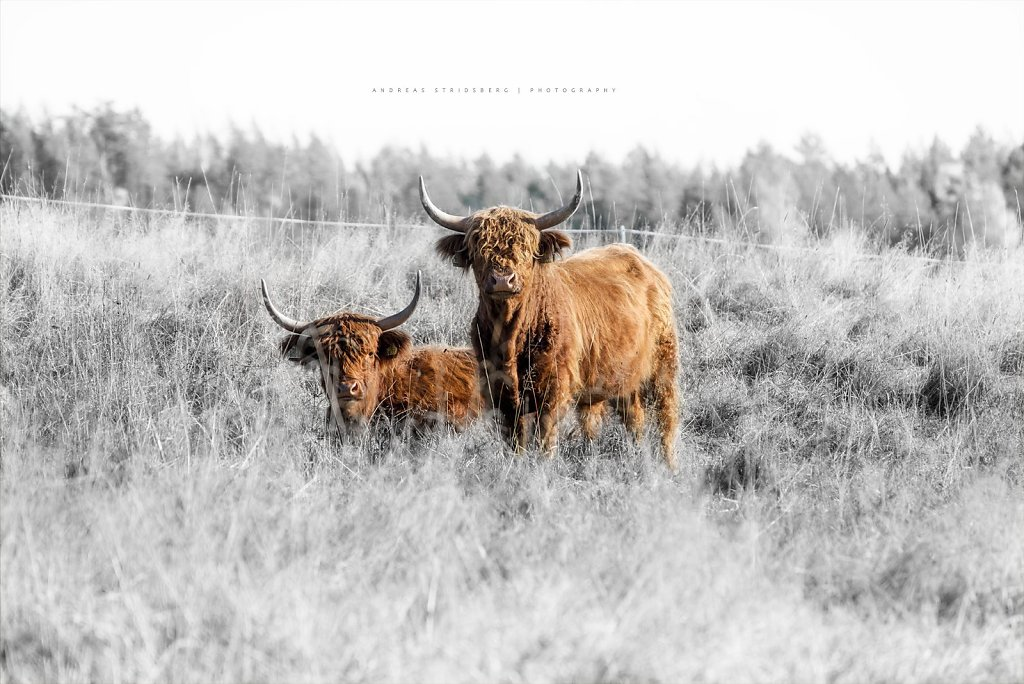 HighlandCattle-201010.jpg